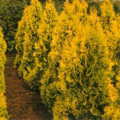 Купить тую западную Aurescens в Минске